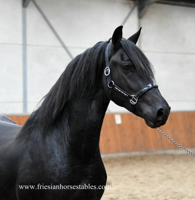 Izak - Menne 496 Sport x Piter 312 x Oege 267 Pref - Show stallion 2,5 year old!!