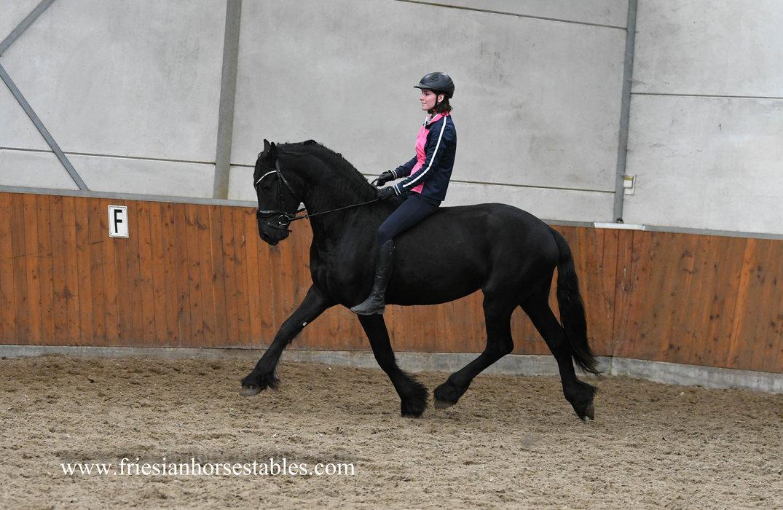 Dico - Tsjalle 454 Sport-Elite+Pref x Fetse 349 Sport - Easy going - Tall and great moving stallion!!
