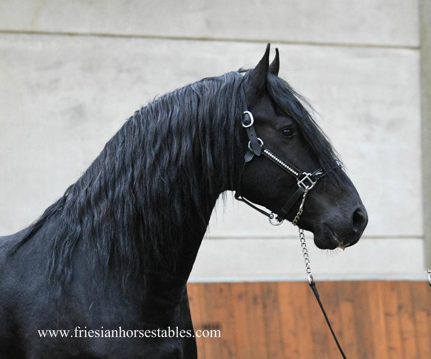 Djano - Reinder 452 Sport x Haitse 425 Sport-Elite - Fairytale looking stallion with great movements!!
