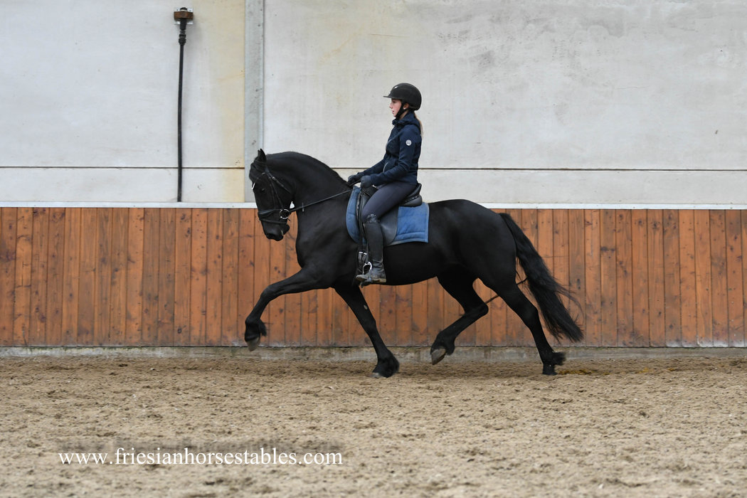 Elise - Thorben 466 Sport-Elite x Sjerp 446 Sport AA x Olof 315 Sport+Pref - Excellent moving Ster mare!!