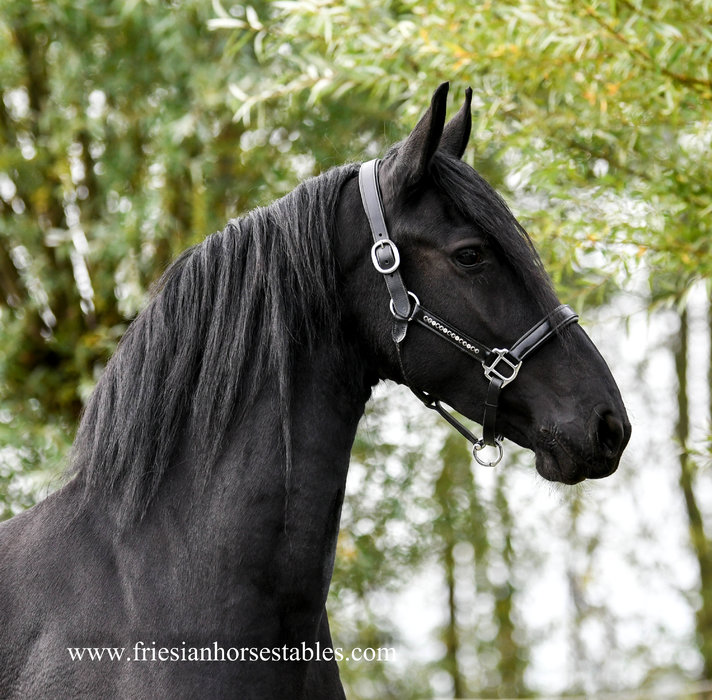 Femke - Nane 492 Sport x Anton 343 Sport+Pref - Very interested bred 3rd premium studbook mare with full papers!!