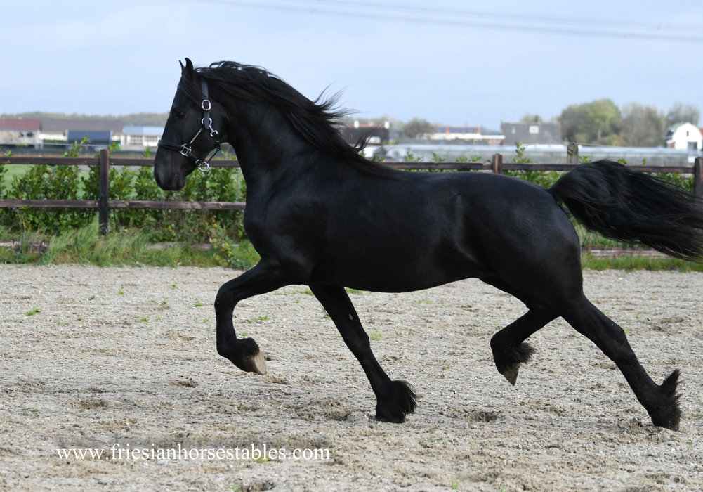 Hauke is sold to Mariska and Miranda in The Netherlands - Congratulations with this impressive moving stallion!!