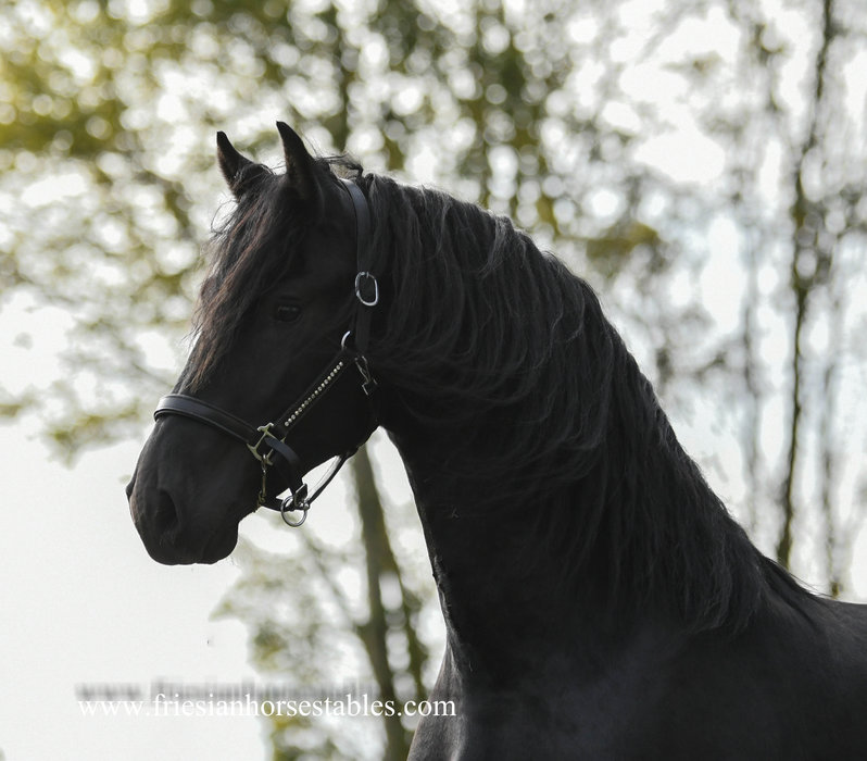 Henkie is sold to Barbara in the UK - Congratulations with this magnificent horse!!