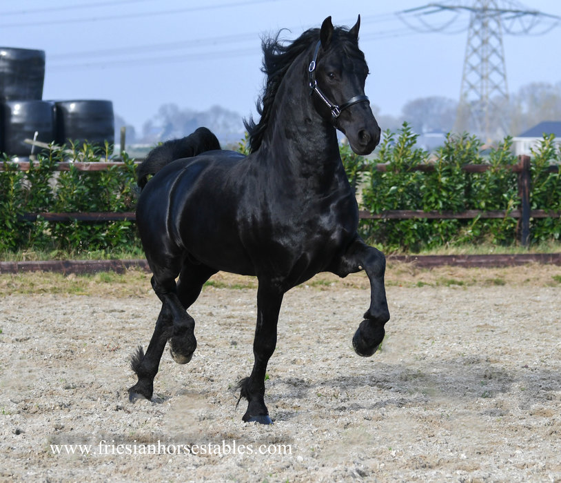 Eike is sold to Delphine in France - Congratulations with this High quality Ster stallion!!
