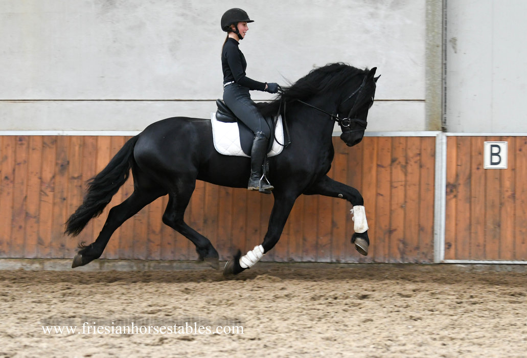 Dauke - Bartele 472 Sport x Brend 413 Sport - STER Stallion with a lot of expression!!