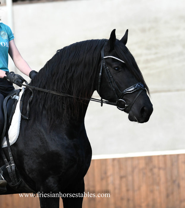 Djano is sold to Frida in Panama - Congratulations with this Majestic looking Friesian stallion!!