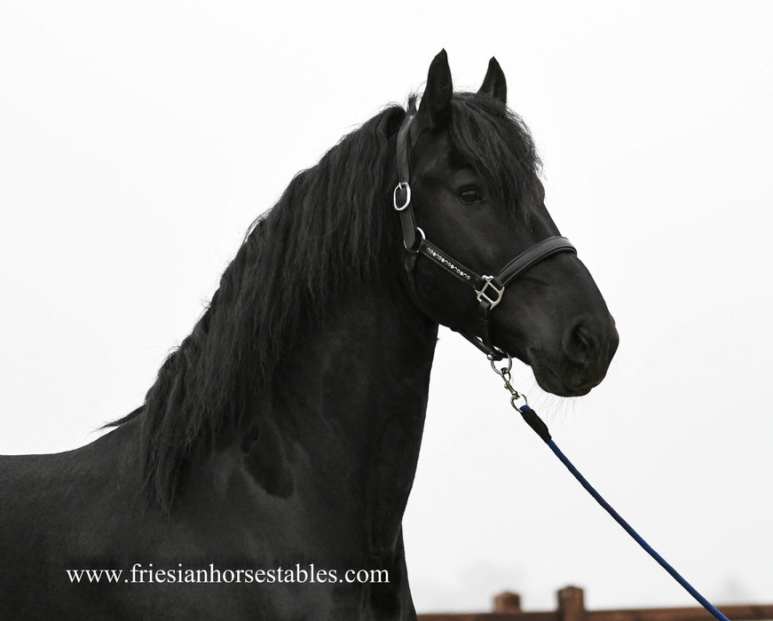 Falko - Markus 491 Sport x Meinse 439 - Talented STER stallion - Grand mother is the mother of Hessel 480 Sport!!
