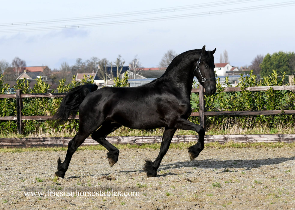 Gerwin - Jehannes 484 Sport x Dries 421 Sport - FIRST Premium as a foal - Future sports horse with excellent movements!!
