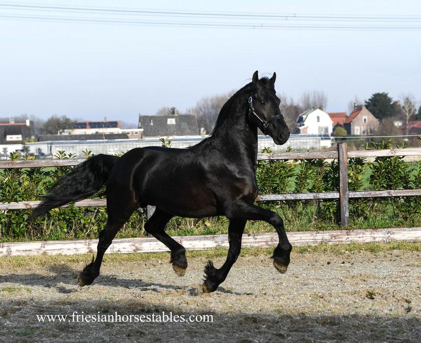 Hearre - Jehannes 484 Sport x Norbert 444 Sport+Preferent - FIRST Premium as a foal - FANTASTIC Mover!!