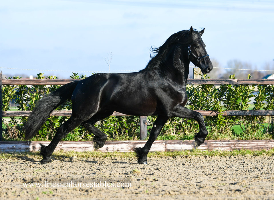 Gysbert - Rommert 498 Sport x Wierd 409 Sport - Out of a Model+Preferent mother - out of the motherline of Yme 507!!