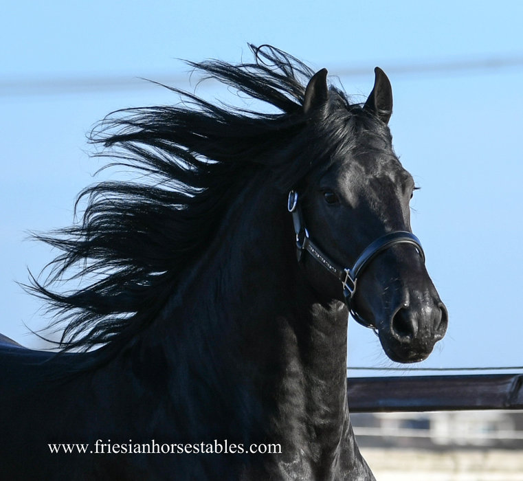 Hayke - Bartele 472 Sport x Beart 411 Sport - Luxury stallion with good movements and a gorgeous face!!