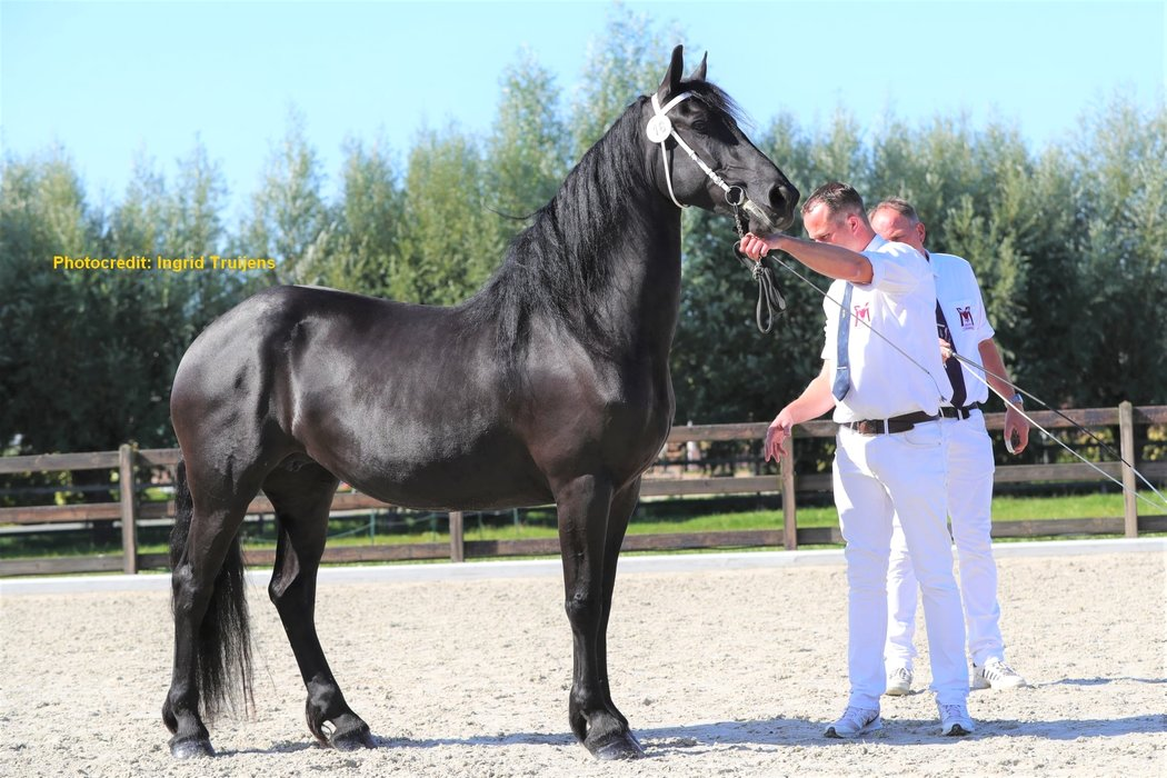 Auke - Hessel 480 Sport x Beart 411 Sport+Preferent - Great moving full papered 3rd Premium Studbookmare - In foal by Tymen 503 Sport!!