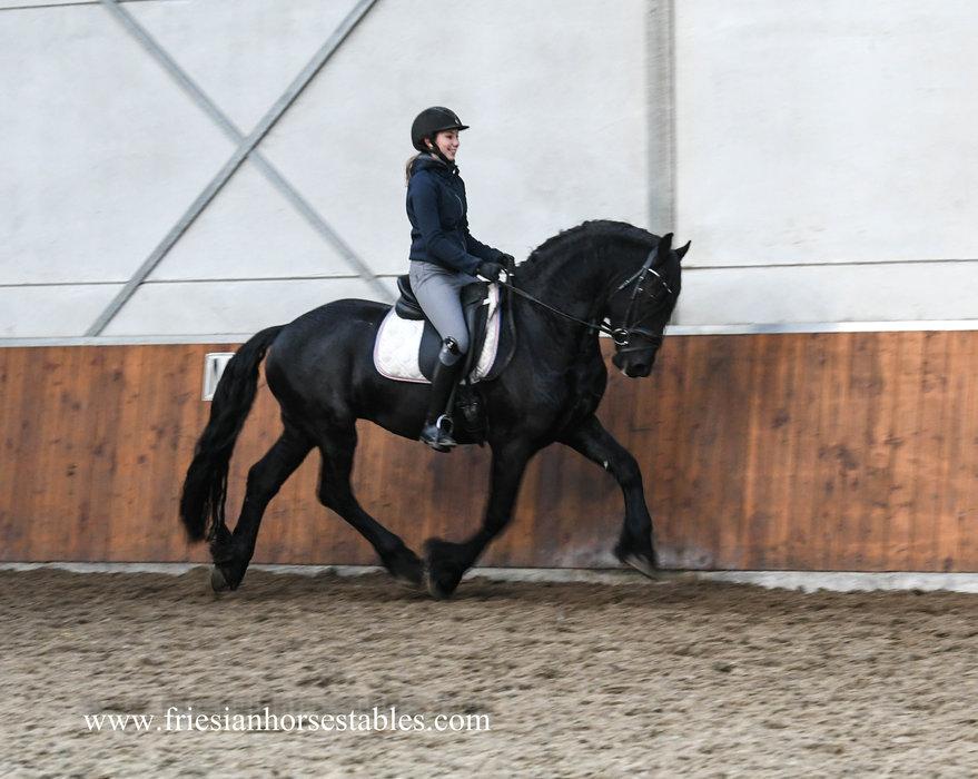 Durk - Meinte 490 Sport x Anne 340 Sport - Baroque stallion with a BIG neck and long manes!!