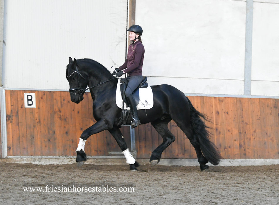 Drewes - Fonger 478 Sport x Loadewyk 431 Sport-Elite - A very nice 4 year old stallion, golden personality, also been to the forest!!