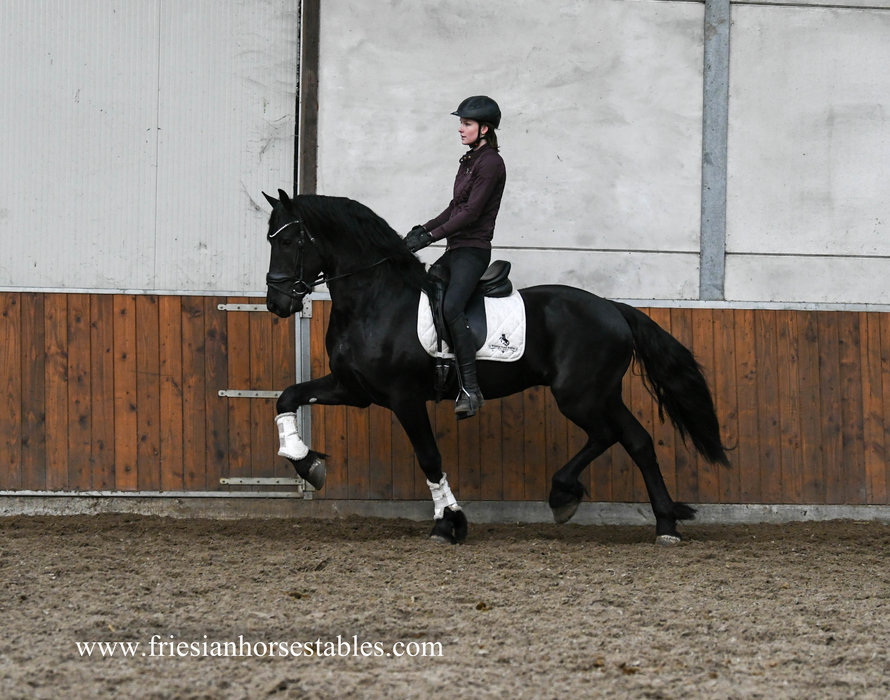 Guus - Menne 496 Sport x Jurjen 303 - Very talented Ster stallion for future sports!!