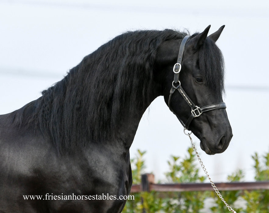 Hidde is sold to a good place in Lithuanian - Congratulations with this fairytale stallion!!