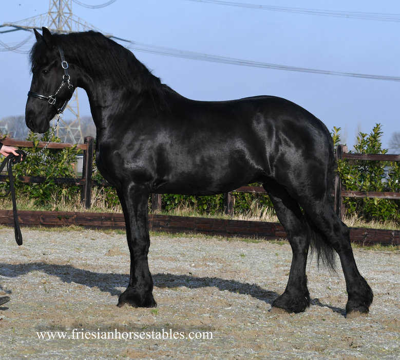 Fedde is sold to Natalie in Holland - Congratulations with this sweet, handsome boy!!