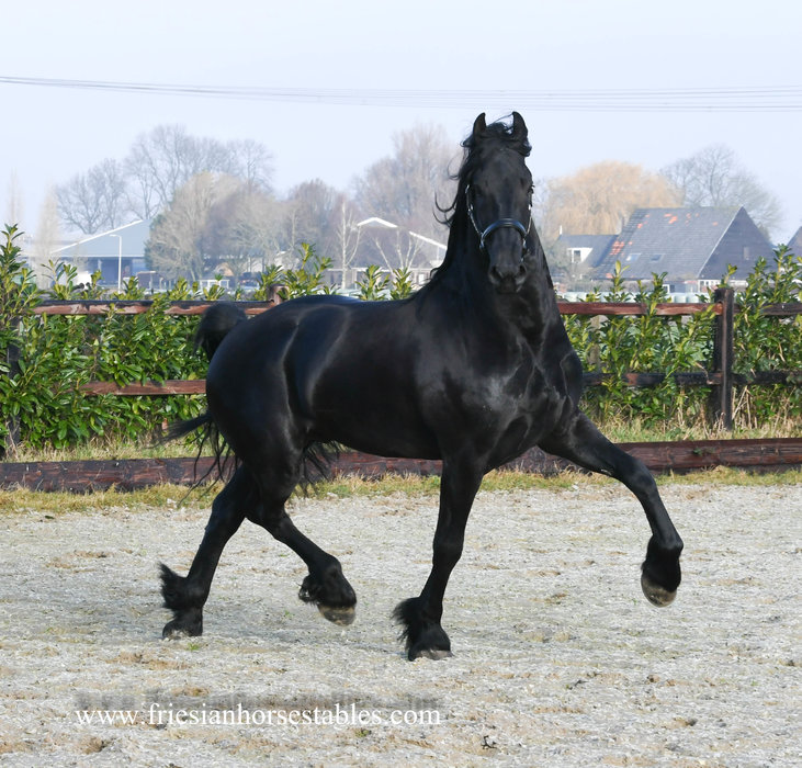 Harrit - Menne 496 Sport x Reinder 452 Sport - Strong build and an excellent moving STER Stallion out of a Crown AAA mare of 86 points!!