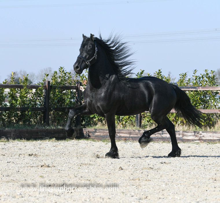 Gabber is sold to a good place in the UK - Congratulations with this Fantastic looking Ster stallion!!