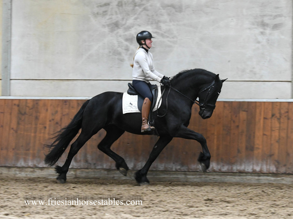 Gabber - Tsjalle 454 Sport-Elite+Pref x Feitse 293 Pref - Majestic looking Ster stallion with a powerful use of his hindlegs!!