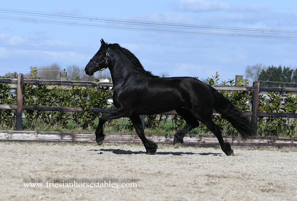 Izzy - Omer 493 Sport x Hinne 427 Sport - Sportive mare with great movements and nice thick manes!!