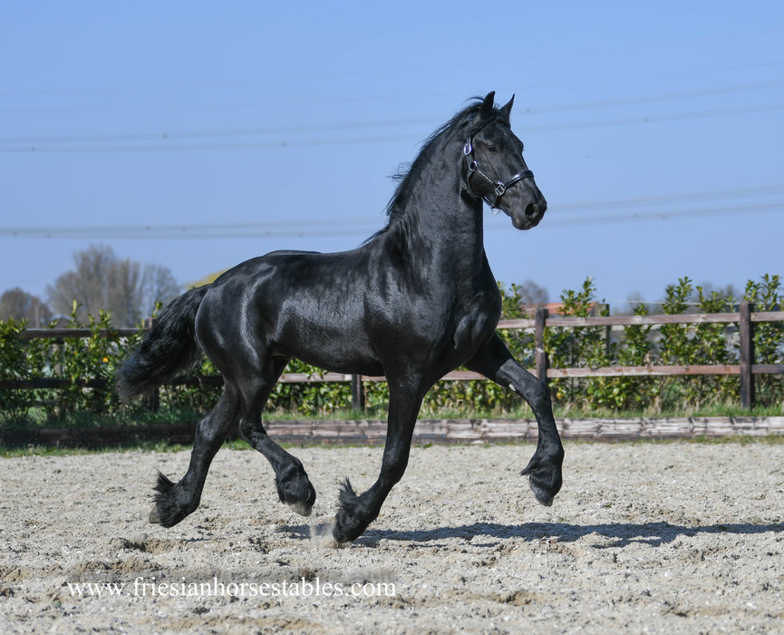 Gerard - Menne 496 Sport x Doaitsen 420 Sport - Future sports horse - Tall and strong moving Ster stallion!!
