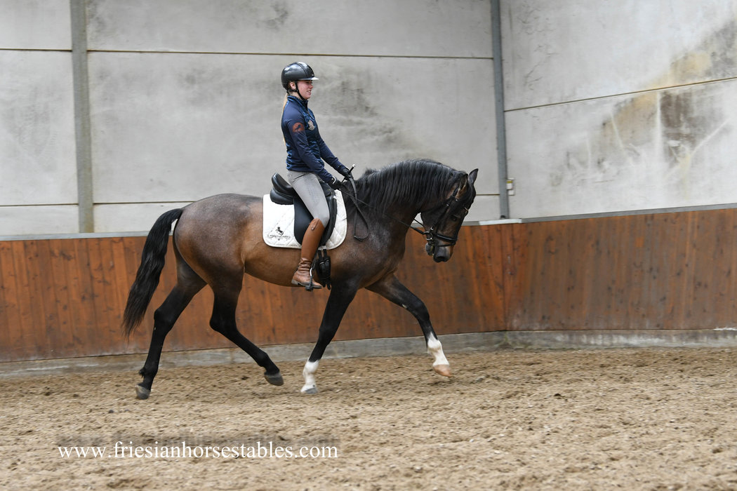 Poderoso is sold to Liesbeth in Belgium - Congratulations with this fantastic P.R.E. stallion!!