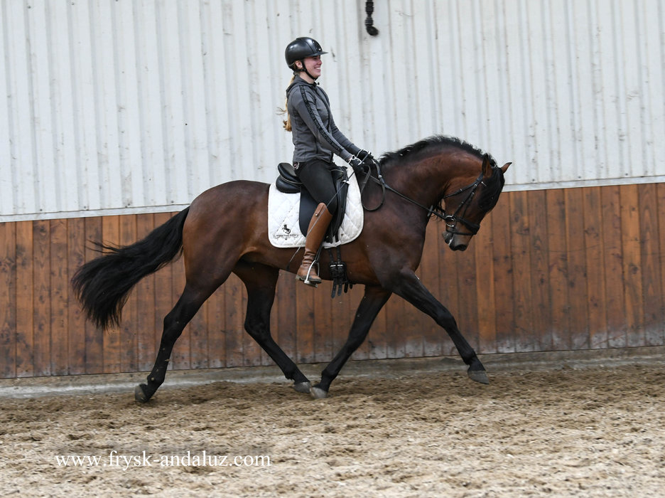 Besucon - Deltoides x Majestuoso v - Gorgeous looking stallion out of the great Military bloodlines!!