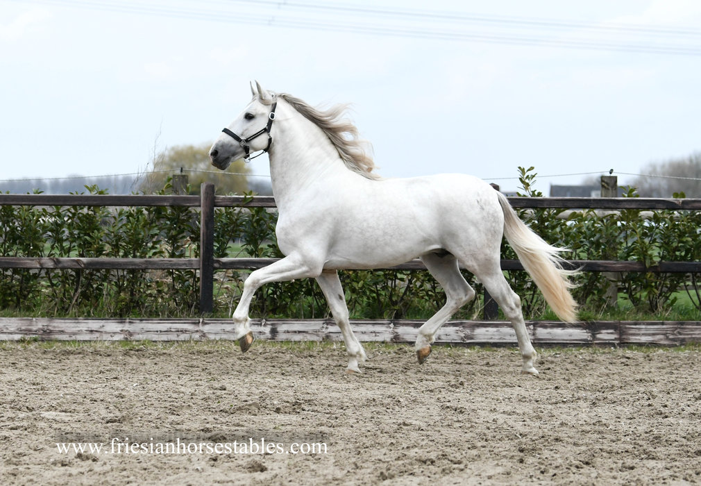 Yeguero - Solea XIX x Islero XXVIII - Rare to find - APTO Approved Cartujano stallion - Fantastic looks!!