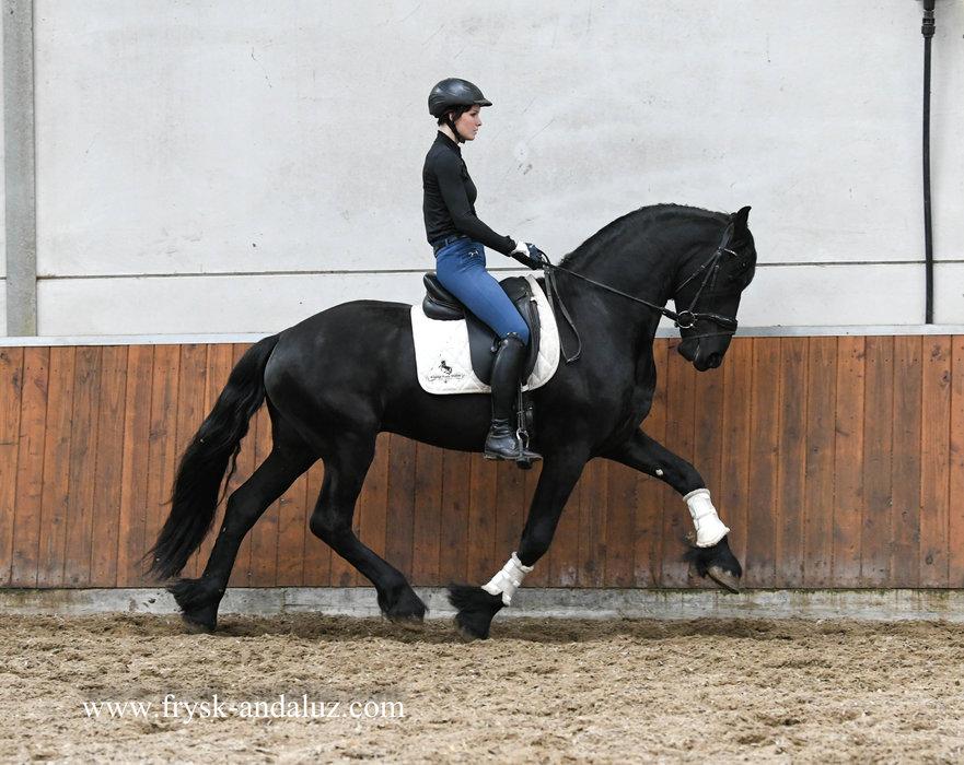 Hylke - Hette 481 Sport x Folkert 353 Sport+Pref - Future dressage prospect!!