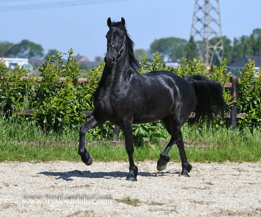 Irsa - Julius 486 Sport-Elite x Nykle 309 - 3rd Premium Studbookmare with 4 times Preferent in a row - In foal by Foeke 520 for 2022!!