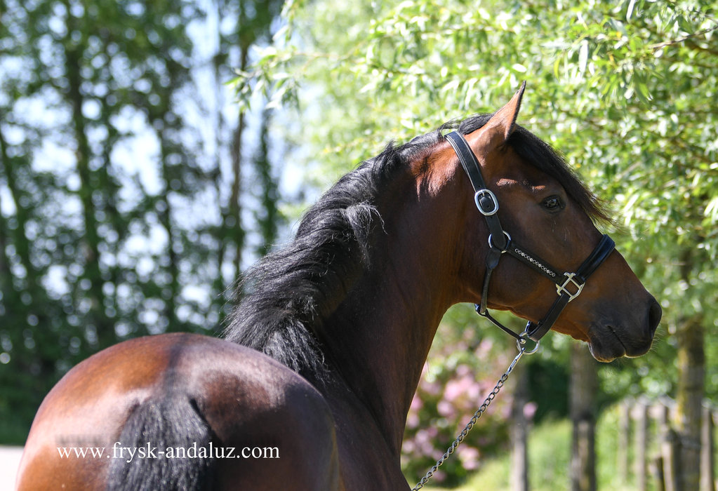 Besucon - Deltoides x Majestuoso v - Gorgeous looking gelding out of the great Military bloodlines!!
