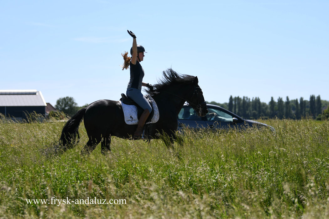 Tizon - 9 year old Friesian gelding without papers - Safe in traffic!!