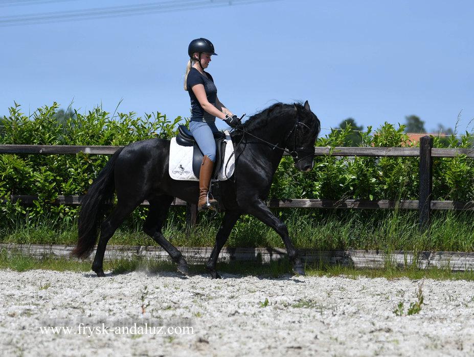Buendia X - Lentisco IX x Doctor XVII - Gorgeous 5 year old stallion with lots of expression!!