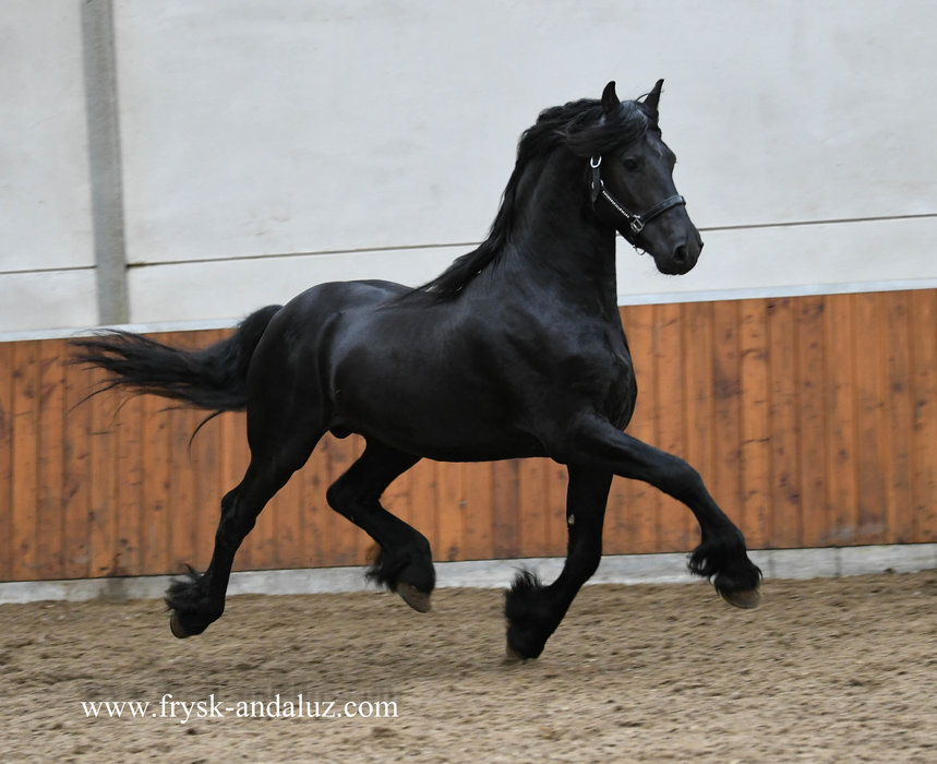 Gerke - Uldrik 457 x Nykle 309 - Fantastic moving stallion!!