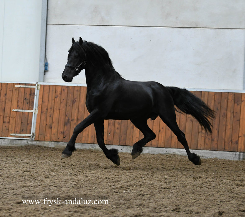 Horik is sold to Imke in Germany - Congratulations with this luxury stallion!!