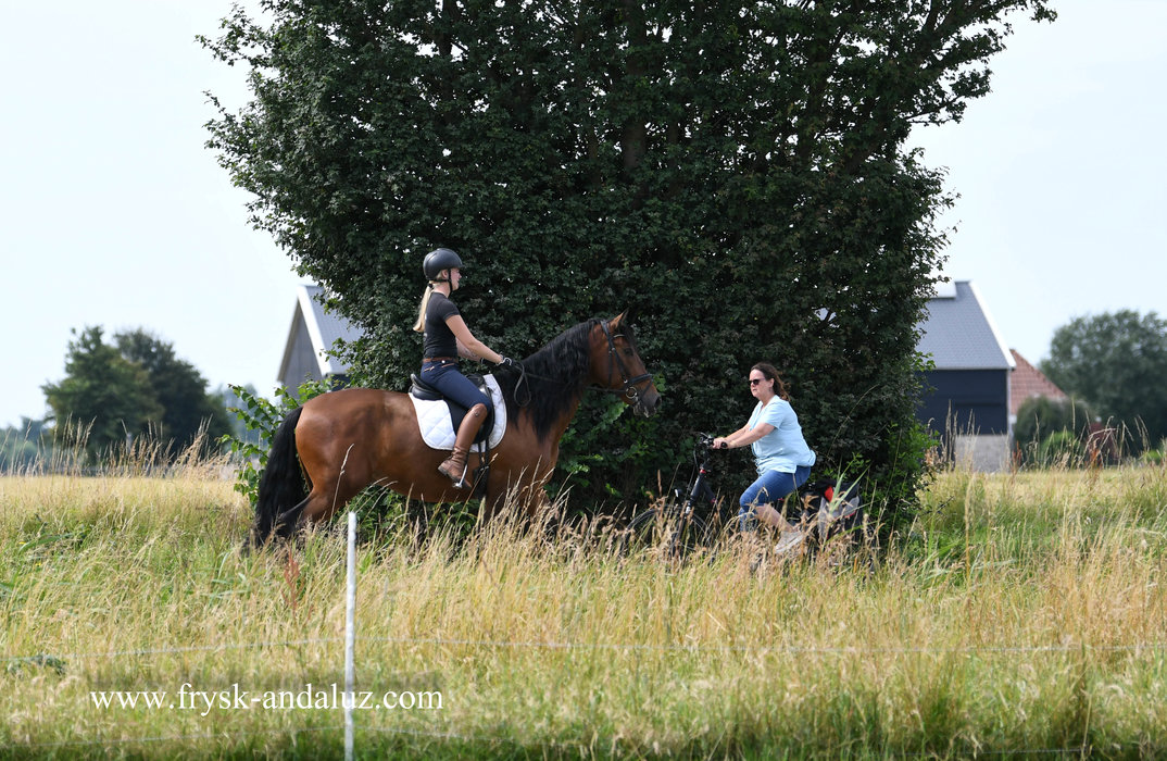 Cartujano LYV - Redondo XII x Redondo VII - Ideal horse for almost every rider - also been in traffic!