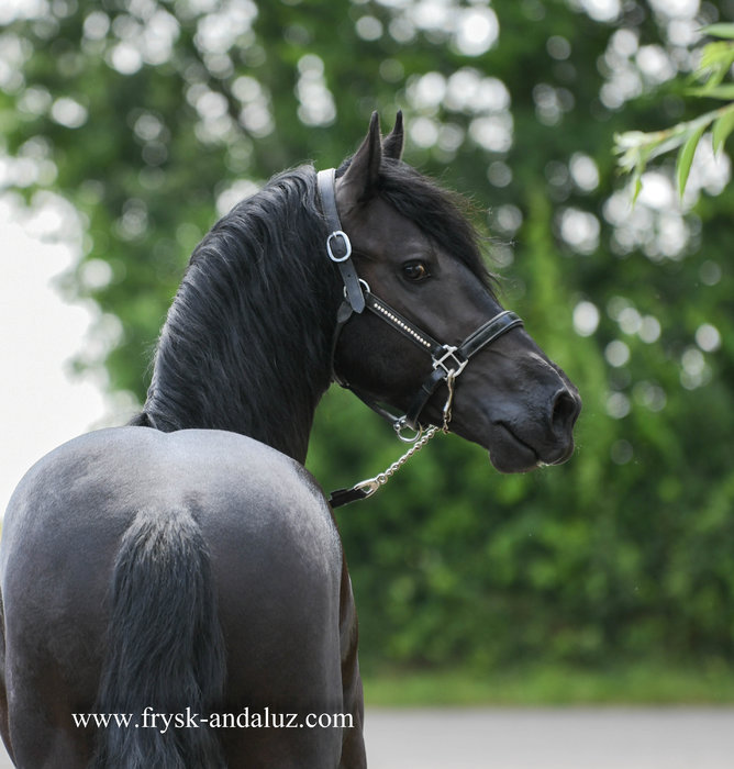Hille - Thorben 466 Sport-Elite x Time 398 - Classic Friesian stallion with good movements!