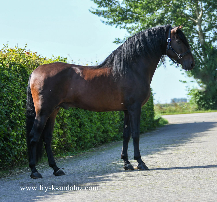 Carioco is sold to Marieke in Holland - Congratulations with this ultra baroque P.R.E. stallion!!
