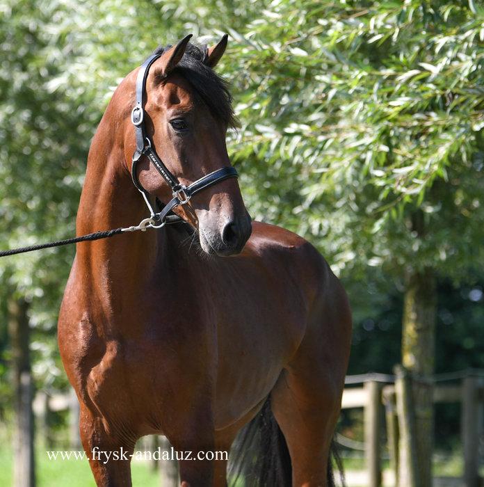 Hercules - Good looking and nice to ride Cruzado gelding!!