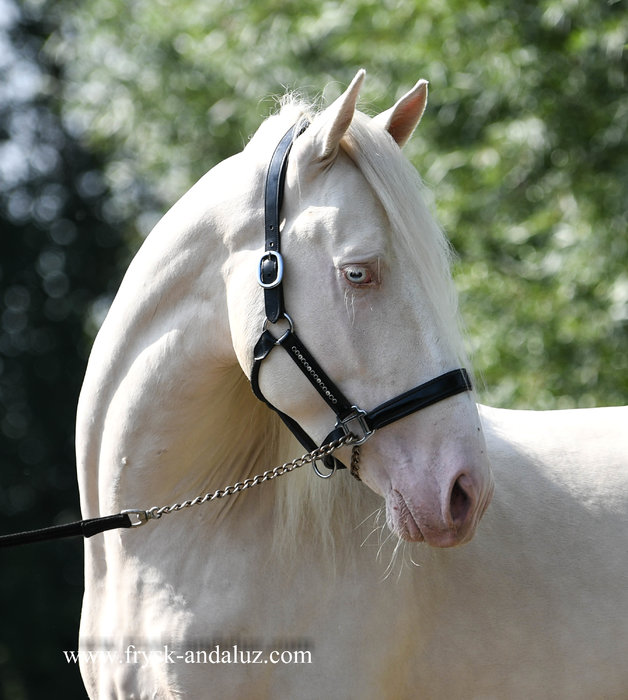 Piropo - Very Special Cremello stallion - Once in a lifetime horse!!