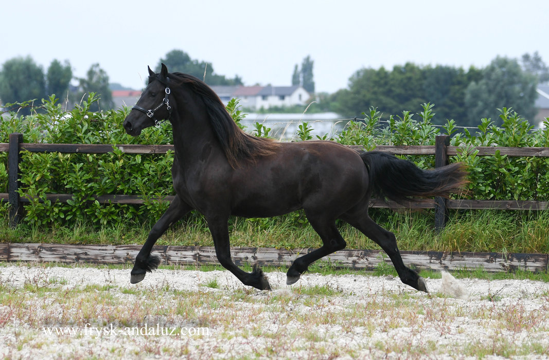 Jente - Uldrik 457 x Stendert 447 Sport - Fairytale looking 2 year old great moving mare!!