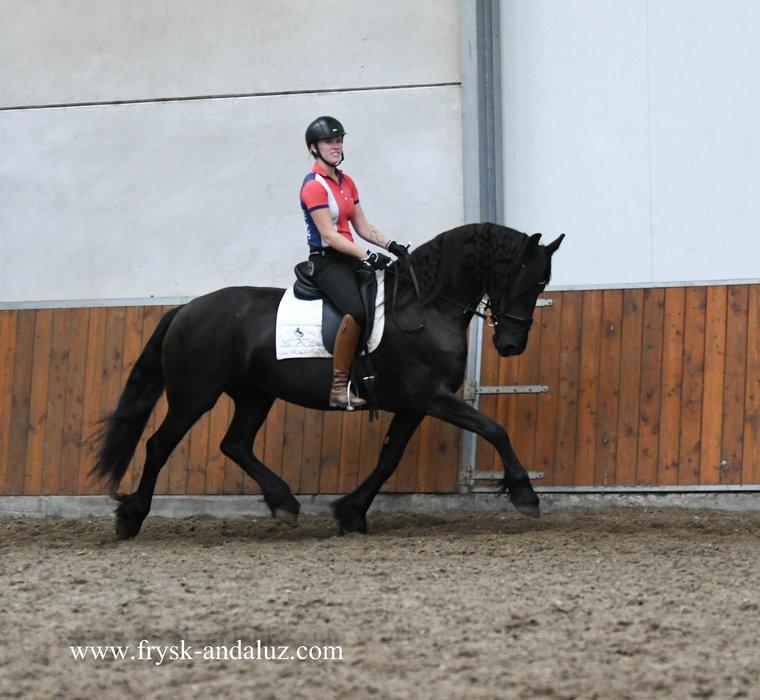 Aukje - Beart 411 Sport+Preferent x Folkert 353 Sport+Preferent - Ster mare - in foal by Foeke 520 AAA for 2022!!