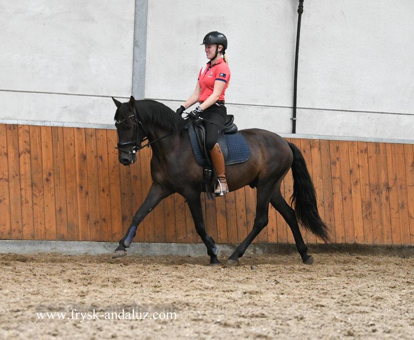 Taranto - Very sweet and easy going Cruzado gelding!! Family horse!!
