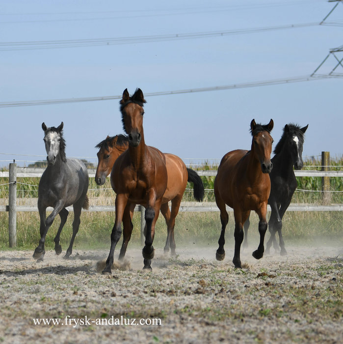 Group of yearling and two year old P.R.E. mares and a couple of Cruzado mares!!