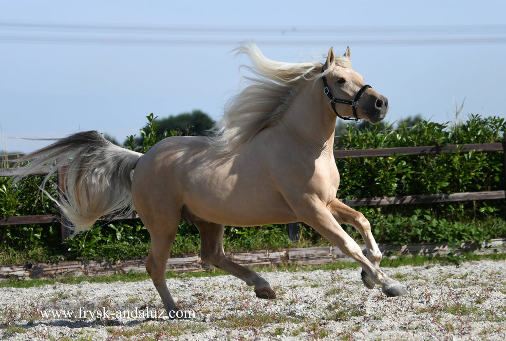 Dex is sold to Jacqueline in Holland - Congratulations with this Special looking Palomino gelding!!