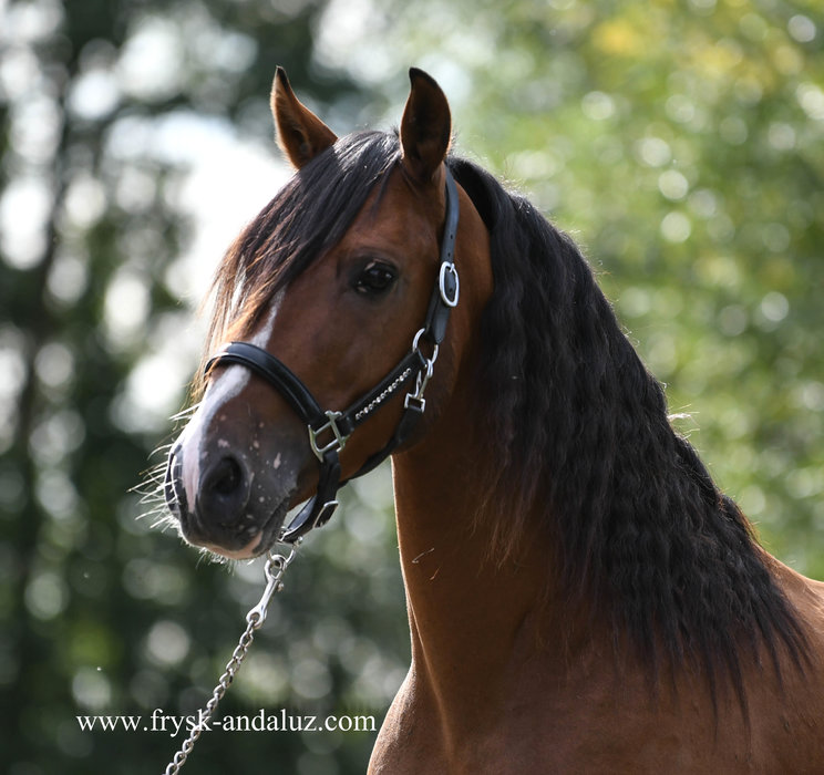Cavdal - Ideal horse for recreational use!! The most cutest face!!