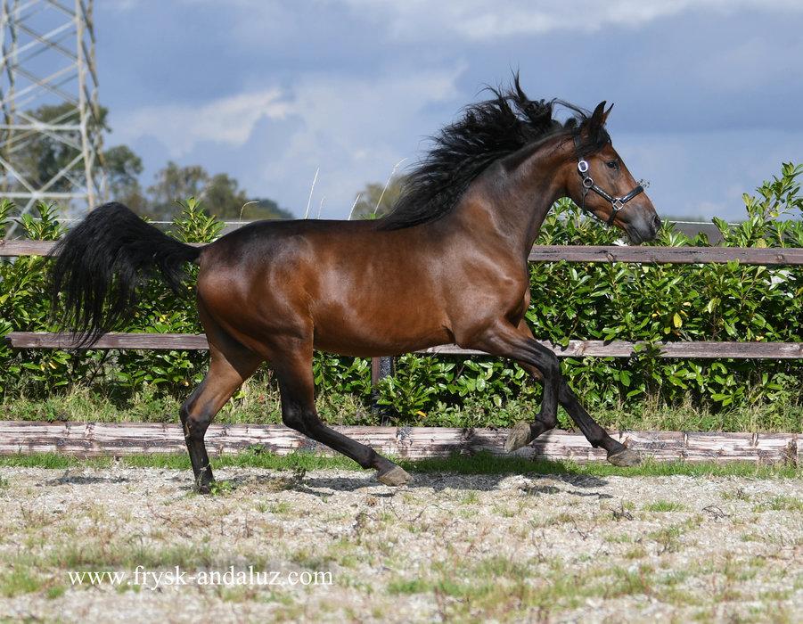 Trovisco - Good looking and great moving Cruzado gelding!!