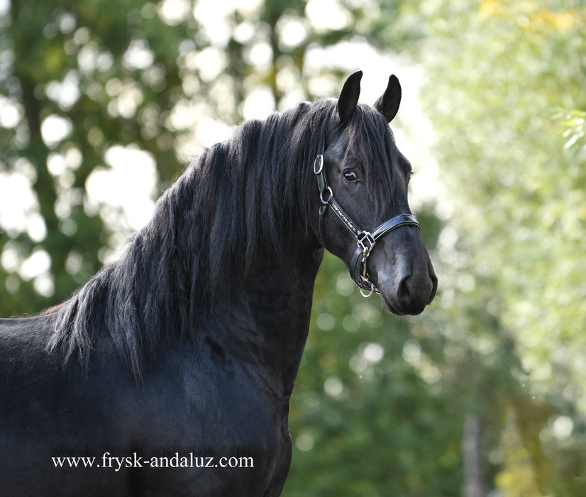 Lukse Pracht - Maurits 437 Sport x Rindert 406 Sport - 3 times Preferent in a row!!