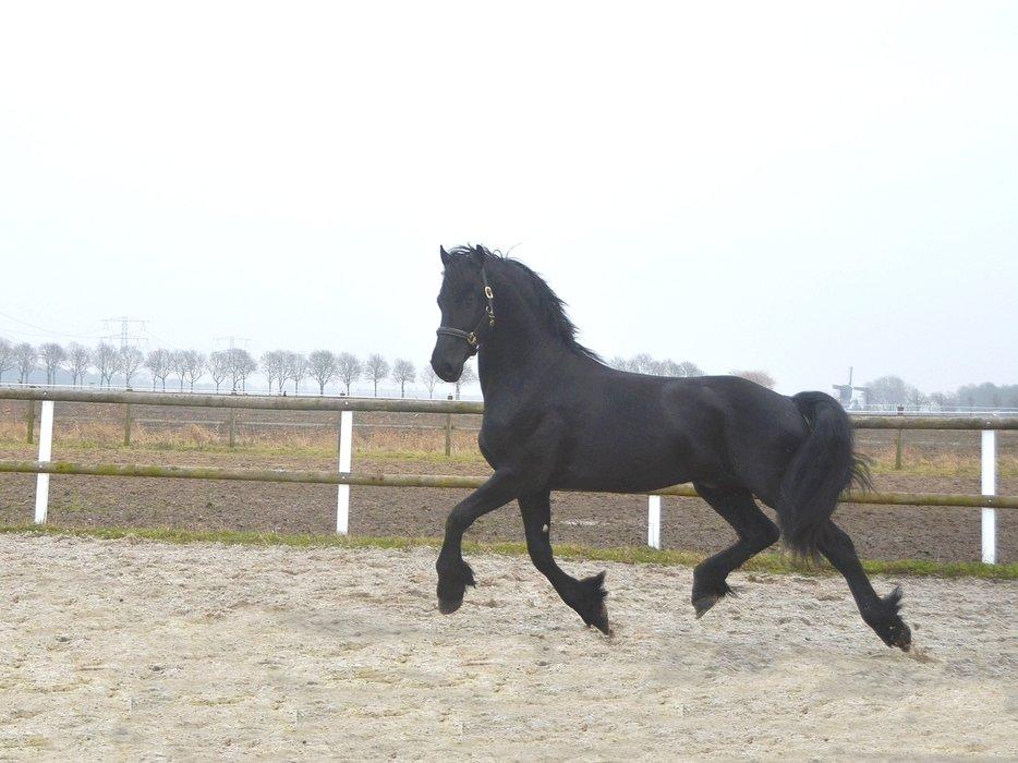 Victor - Norbert 444 Sport x Piter 312 - Very Impressive STER Stallion!!